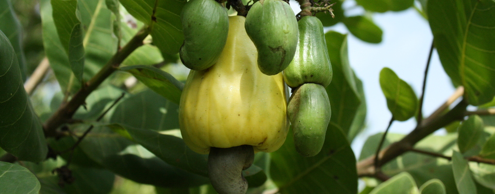 Cashew sector in Benin: The Brmn form players with international standards