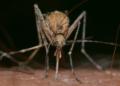 USA : 144.000 moustiques génétiquement modifiés bientôt relâchés