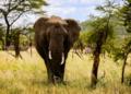 Un homme soupçonné de braconnage écrasé par des éléphants