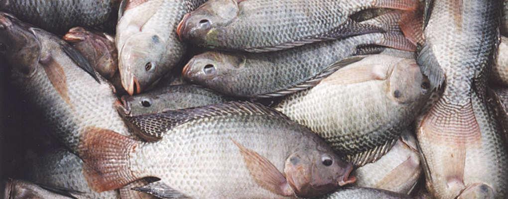 Poissons Tilapia : ''Le gouvernement n'a pas interdit systématiquement les importations'' dixit Innocent Togbé