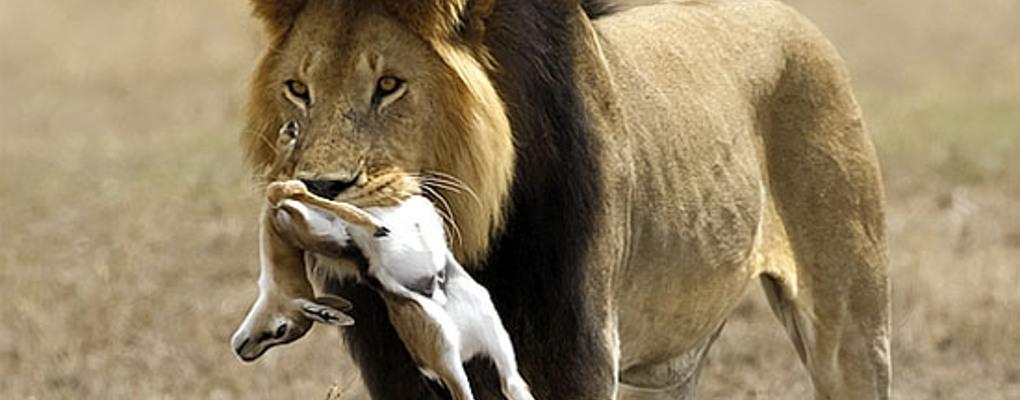 Lundi de service : Tu peux choisir d'être une gazelle ou un lion