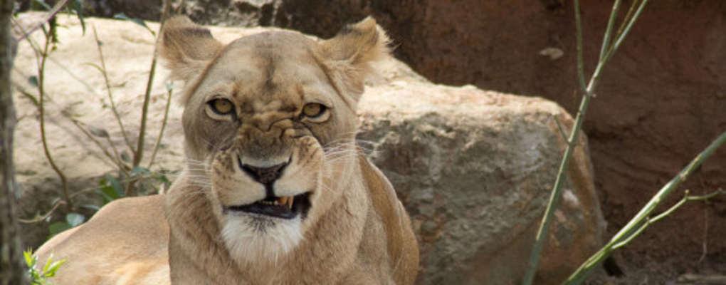 Afrique du sud : des braconniers dévorés par des lions