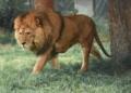 Covid-19 : 8 lions testés positifs dans un zoo en Inde, une première