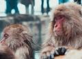 Inde : 2 hommes accusés d'utiliser des singes pour voler de l'argent ont été arrêtés