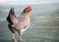 Grippe aviaire H10N3 : la Chine signale le premier cas chez l'homme
