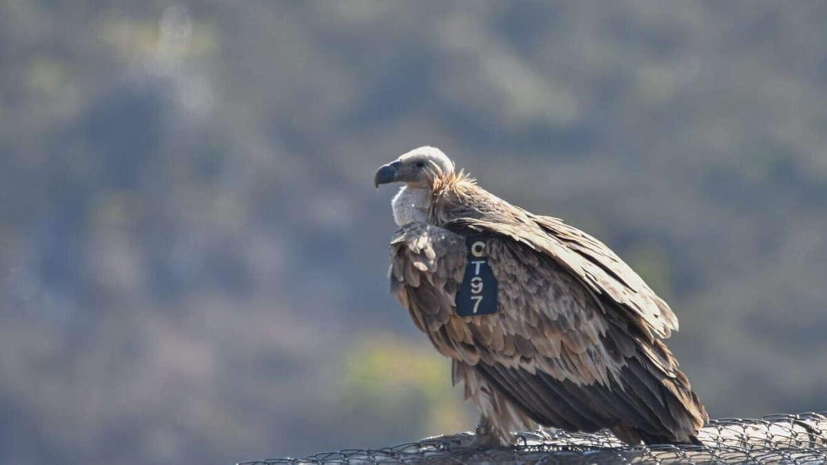 Photo d'illustration : Un Vautour fauve. (Yosef Avgana, Direction de la Nature et des Parcs d'Israël)