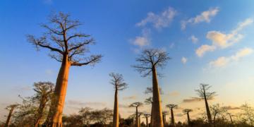 Le baobab, symbole de l'afrique est un arbre plurimillénaire