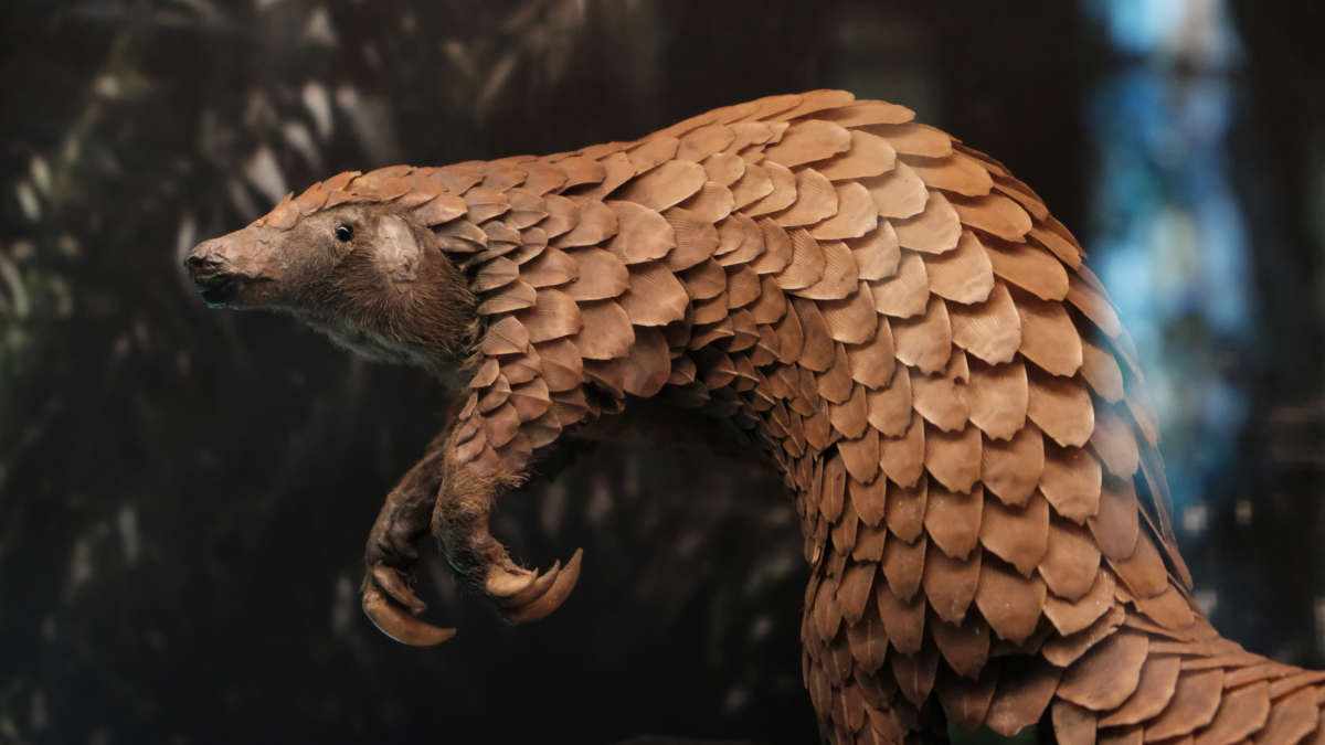 Un pangolin (photo Unsplash)
