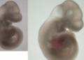 Un utérus artificiel pour souris mis en place en Israël