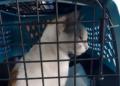 Un chat livreur de drogue arrêté au Panama