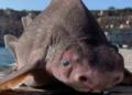 Un « requin cochon » retrouvé mort en Italie