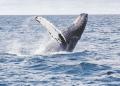 USA: témoignage d'un pêcheur avalé puis recraché par une baleine (vidéo)
